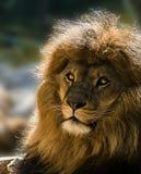 gammal lion Arkivfoton