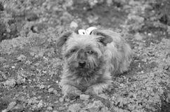 Gammal liten hund Royaltyfria Foton