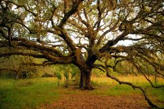 gammal live oak Arkivbilder
