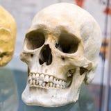 Gammal mänsklig skalle i museum Arkivfoto