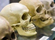 Gammal mänsklig skalle i museum Royaltyfria Bilder