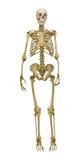 Gammal mänsklig skelett- illustration på vit bakgrund Royaltyfri Bild
