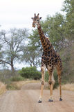Gammal mörk giraff som korsar långsamt en väg i natur Royaltyfria Foton