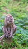 Gammal macaqueapa Royaltyfri Fotografi