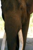 Gammal manlig elefant med stora beten Royaltyfri Fotografi