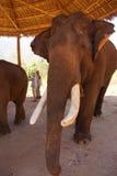 Gammal manlig elefant med stora beten Arkivfoton