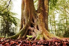 Gammal mest forrest jätte av ett träd royaltyfri foto