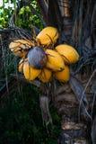 Gammal mogen kokospalm med den gula gruppen av kokosnötter Royaltyfri Fotografi