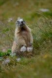 Gammal murmeldjur i gräset för vagga e Arkivfoton