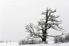 gammal oak Royaltyfri Bild