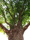 gammal oak Arkivfoto