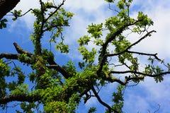 gammal oak Royaltyfri Fotografi