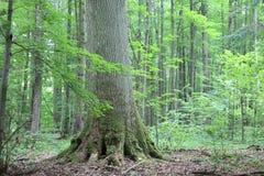 gammal oak Royaltyfri Foto