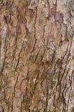 gammal oak Arkivbilder