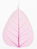 Gammal och torr rosa Pho bladdetalj Royaltyfria Bilder