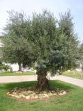 Gammal olive tree royaltyfria foton