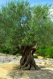 gammal olive tree Royaltyfri Foto