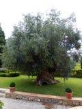 gammal olive tree arkivfoto