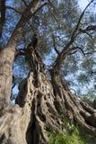 Gammal olivträd Royaltyfri Foto
