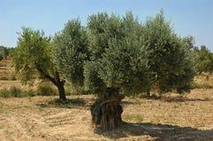Gammal olivträd på en lantgård i Spanien royaltyfri fotografi