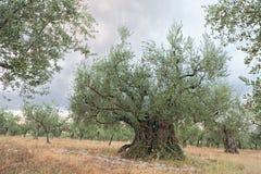 Gammal olivträd som växer i Umbria, Italien Arkivfoto
