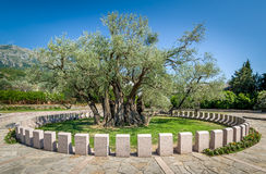 Gammal olivträd Stara Maslina som är mer än 2000 gamla år i Montenegro Arkivfoto