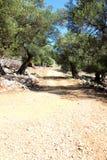 Gammal olivträdträdgård i Lun Royaltyfri Foto