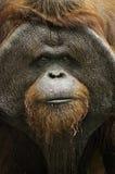 Gammal orangutang Utan Arkivfoton