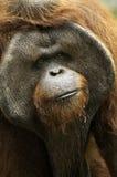 Gammal orangutang Utan Arkivbild