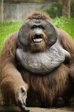 Gammal orangutang Utan Royaltyfria Bilder