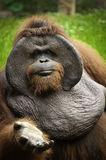 Gammal orangutang Utan Arkivfoto