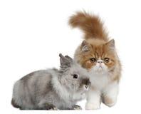 gammal persisk kanin för 3 kattungemånader Fotografering för Bildbyråer