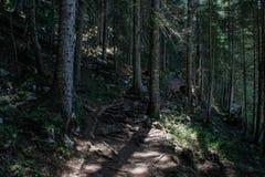 Gammal pinjeskog i den Durmitor nationalparken, Montenegro arkivfoto