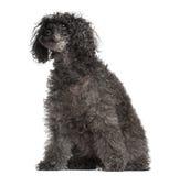 Gammal Poodle, 16 gammala som år sitter Royaltyfria Foton