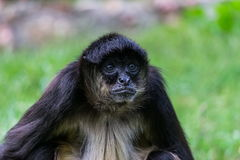 Gammal primat som väntar något Royaltyfri Fotografi