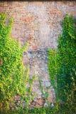Gammal röd vägg med klättringväxter Arkivfoto