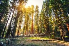 Gammal redwoodträd i sequoianationalpark Royaltyfria Foton