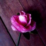 Gammal rosa färgros Royaltyfria Foton