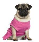 gammal rosa mops för 7 klädd månader Royaltyfri Fotografi