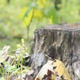 Gammal rutten trästubbe med mossa i skogvårsäsongen Rutten natur Forest Park för mossa för trädstubbe Arkivbilder