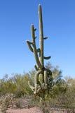Gammal Saguarokaktus med många armar Royaltyfria Bilder