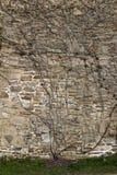 Gammal sandstenvägg med en ranka som växer på den Royaltyfri Foto