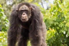 gammal schimpans Royaltyfri Bild