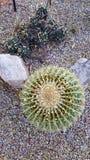 Gammal Scottsdale kaktus Arkivfoton