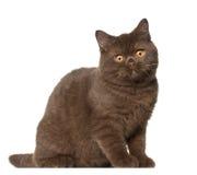 gammal shorthair för 4 brittiska kattkattungemånader Royaltyfria Bilder