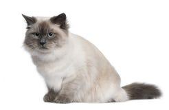 gammal siberian sitting för 18 kattmånader royaltyfria bilder