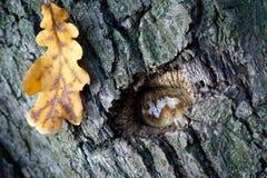 gammal sight för oak Royaltyfri Bild