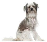 gammal sitting för 11 kines krönad hundmånader royaltyfri fotografi