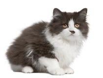 gammal sitting för 3 brittiska månader för kattunge longhair Royaltyfria Bilder