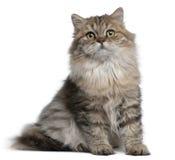 gammal sitting för 3 brittiska månader för kattunge longhair Royaltyfri Bild